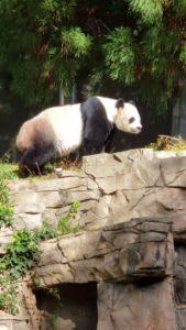 Bei Bei, the Panda
